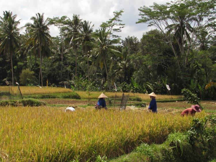 rice_paddies1