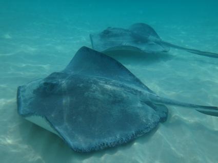cayman sting rays