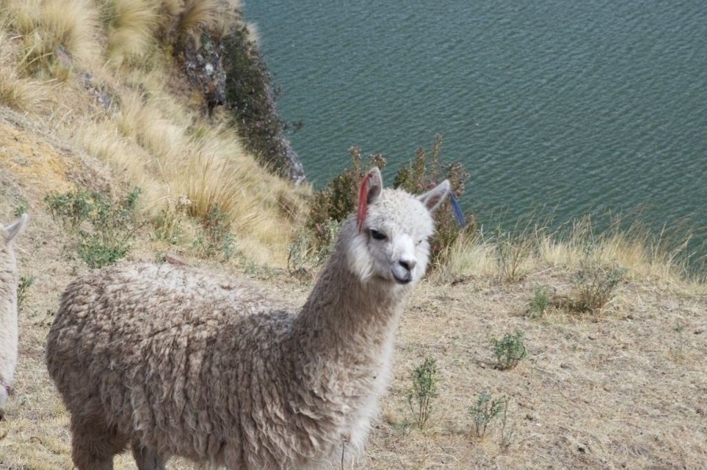 alpaca_sacred_valley