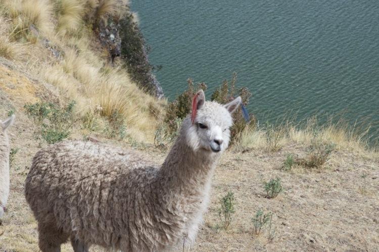 alpaca_sacred_valley